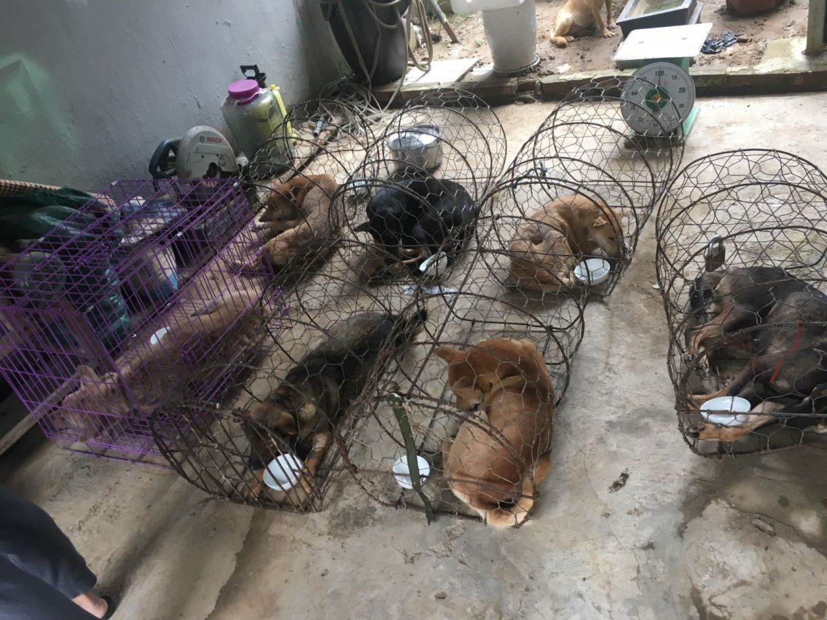ACPA helps provide medical care for confiscated dogs following the largest ever bust of a dog theft ring by Vietnamese police
